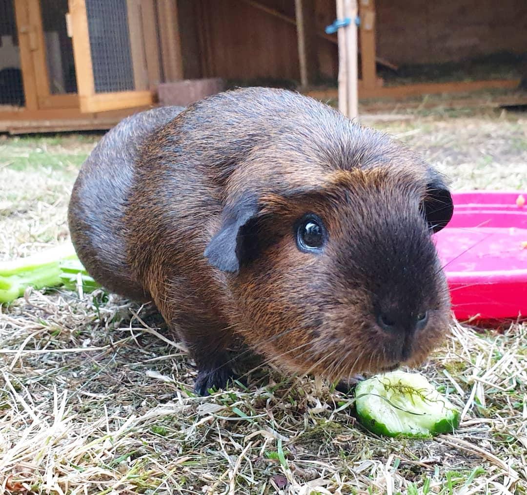 Морская свинка: содержание и уход от А до Я. Чем кормить, как обустроить клетку, преимущества и недостатки морских свинок