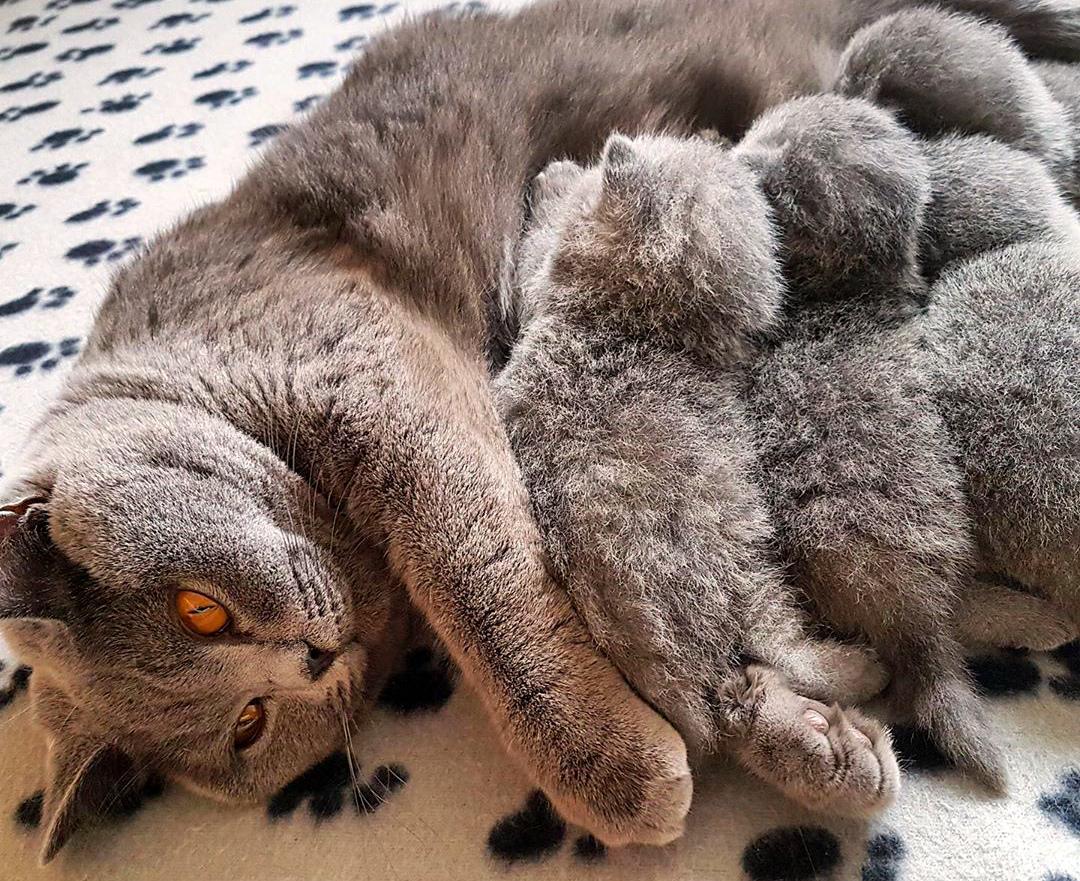 Порода кошек британец – в чем секрет мировой популярности? Внешность, характер, вопросы содержания, здоровья и отзывы владельцев