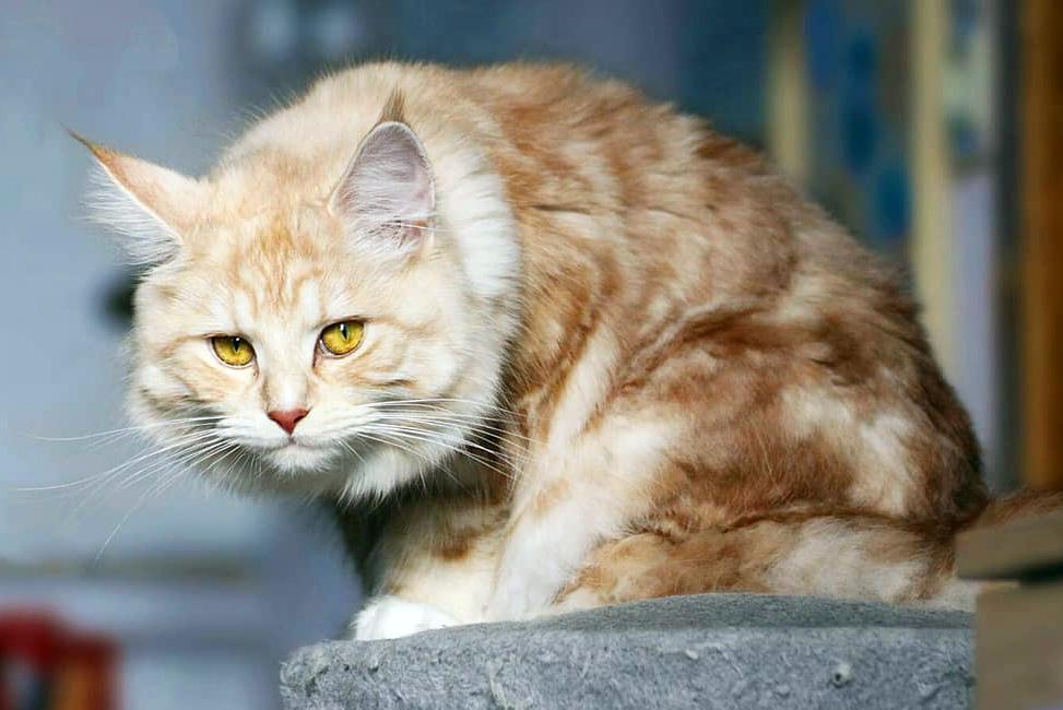 Мейн-кун: описание породы кошек и особенности ухода