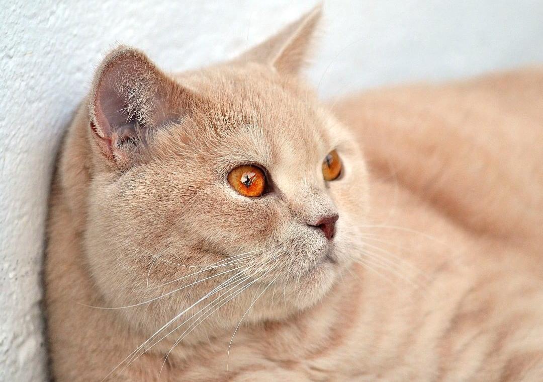 Британская кошка розовая особенности