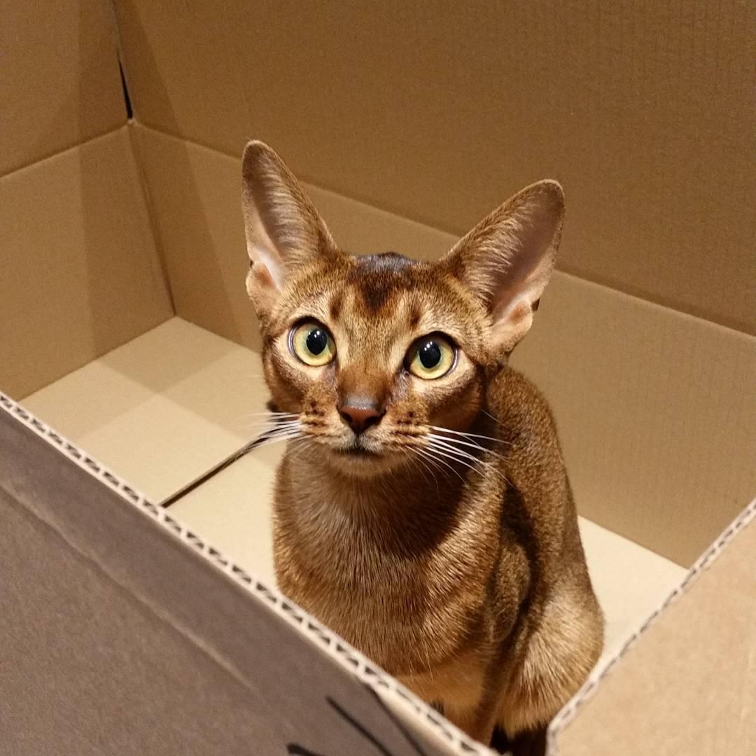 Абиссинская кошка: характер и поведение, плюсы и минусы породы, содержание и уход