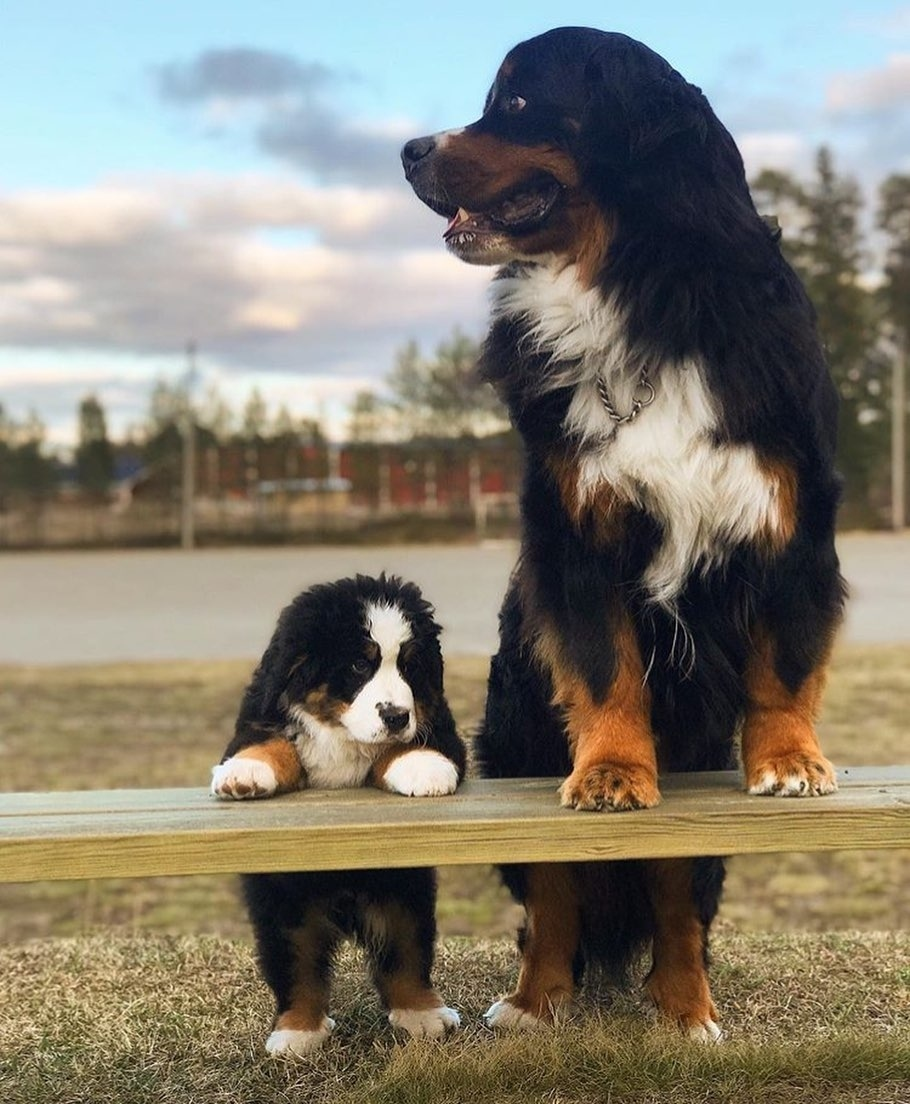 bernskij-zennenhund-harakteristika-porody