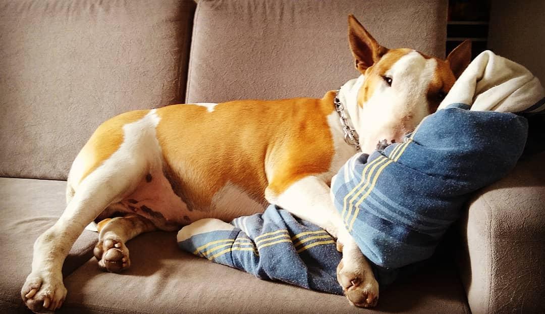 Порода собак бультерьер: подробное описание, характер и особенности содержания. Чем опасен бультерьер (кроме того, что вызывает привыкание)