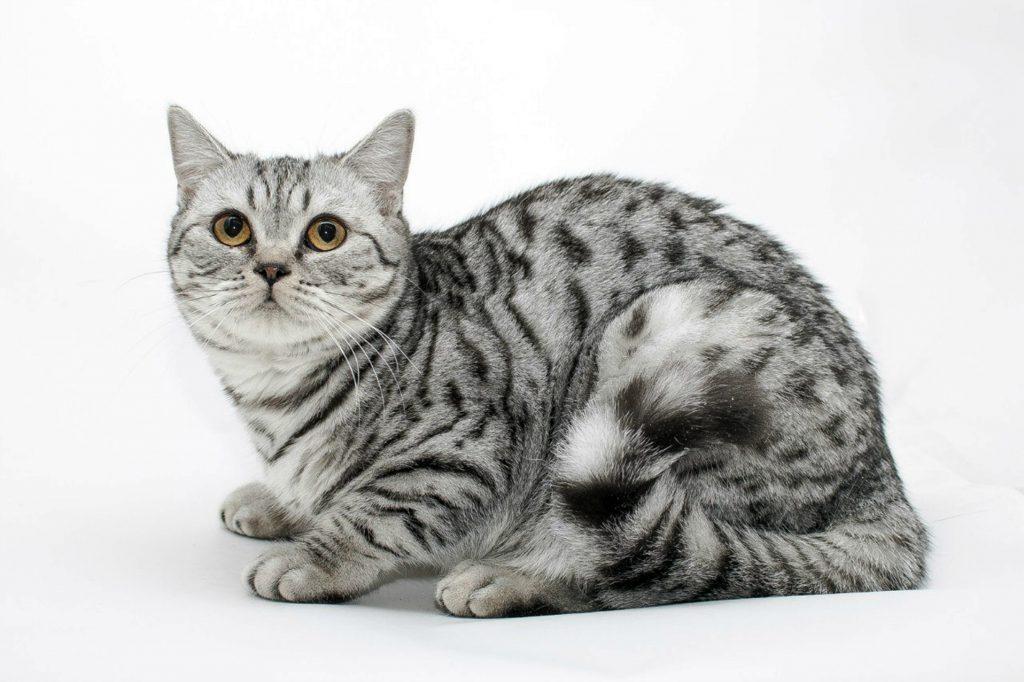 Скоттиш-страйт 🐈 фото кошки, описание породы, характер, уход за шотландской прямоухой кошкой