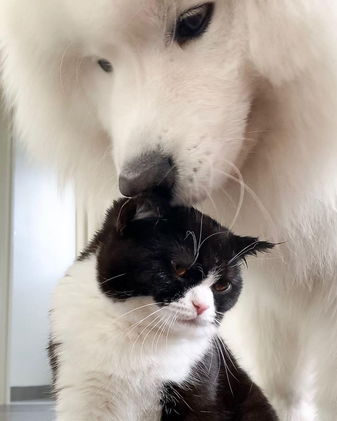 Порода кошек шотландская прямоухая: чем отличается от британской, характер страйтов, наследственные заболевания