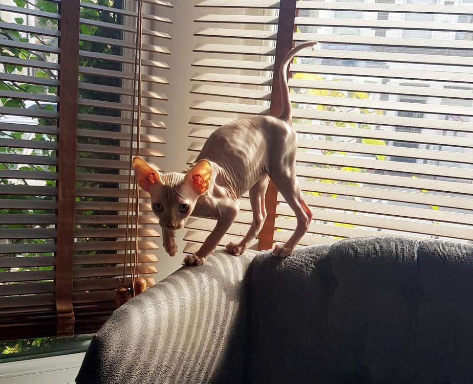 harakter-koshek-sfinksov