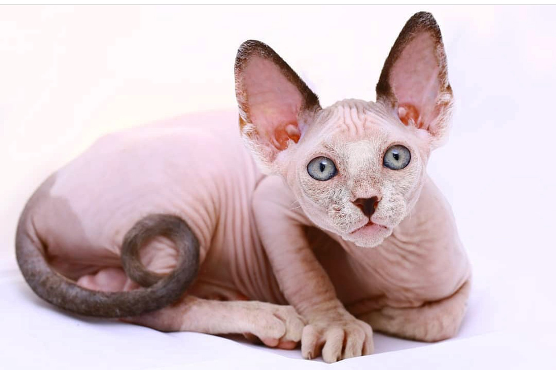 Канадский сфинкс: особенности породы, происхождение голых кошек, отзывы владельцев, вопросы ухода и содержания, породные заболевания