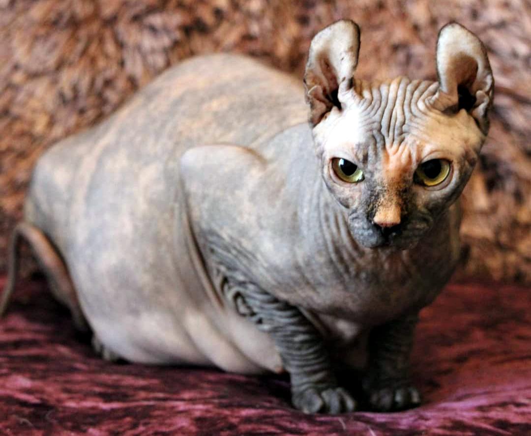 Характер кошек сфинксов, вопросы ухода и содержания, отзывы владельцев