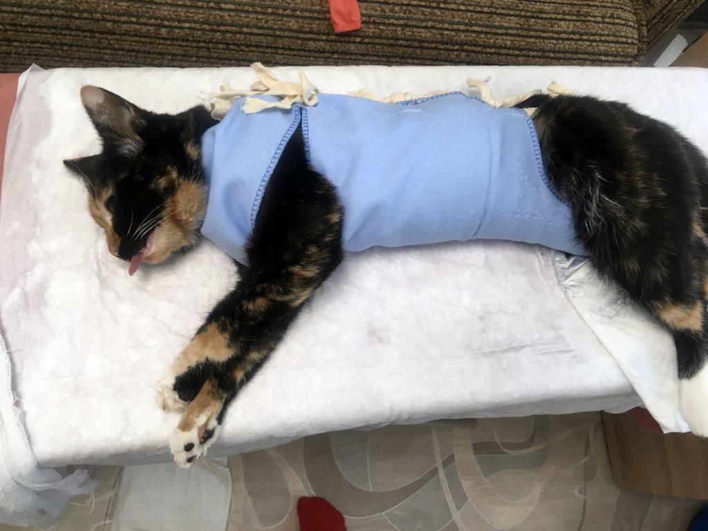 Осложнения после стерилизации у кошек: проблемы связанные с заживлением шва, сердечно-сосудистой системой, нарушения пищеварения и прочие неприятности