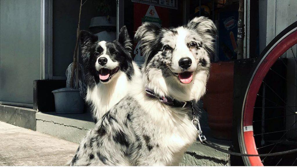 Порода собак бордер-колли: особенности характера, минусы для домашнего содержания, породные заболевания и вопросы здоровья, отзывы владельцев