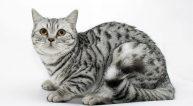 Лысые кошки название породы характер